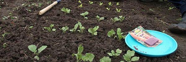 Выращивание кормовой свеклы начинается с посева семян