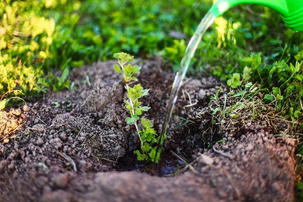 Увлажнять кустарник необходимо осторожно