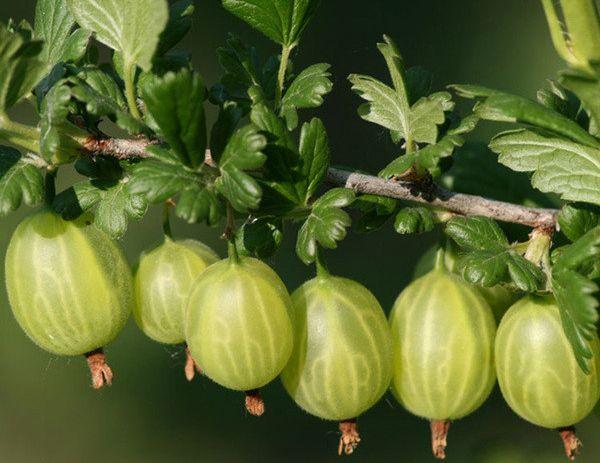 Родник имеет крупные ягоды с десертным вкусом