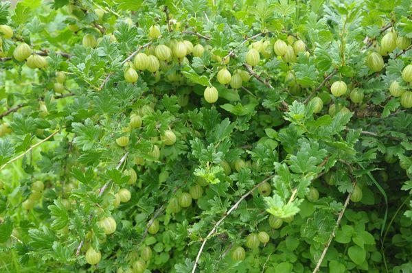 С одного куста можно собрать до 6,8 кг плодов