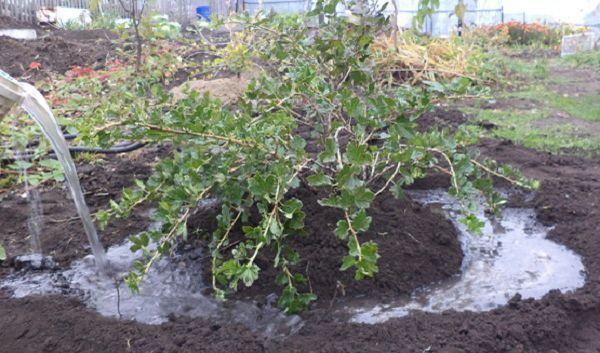 Нежелательно переувлажнять почву крыжовника