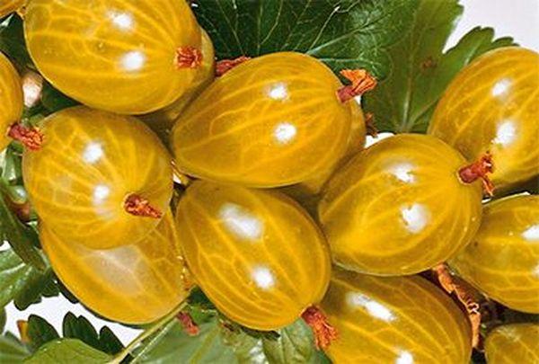 Полностью созревшие ягоды имеют янтарный окрас