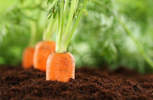 Удобрение для своей моркови следует вносить дважды