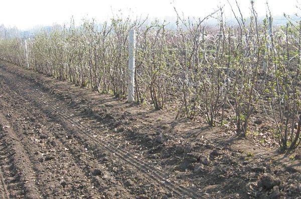 Выращивание смородины на шпалерах