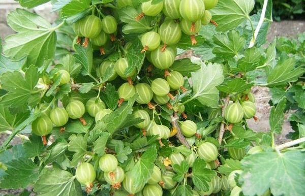 Крыжовник Зеленый дождь – гибридный сорт