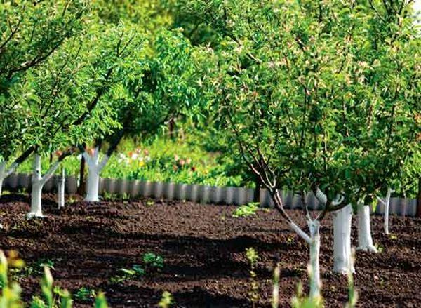 Яблонная плодожорка может поражать все плодовые деревья