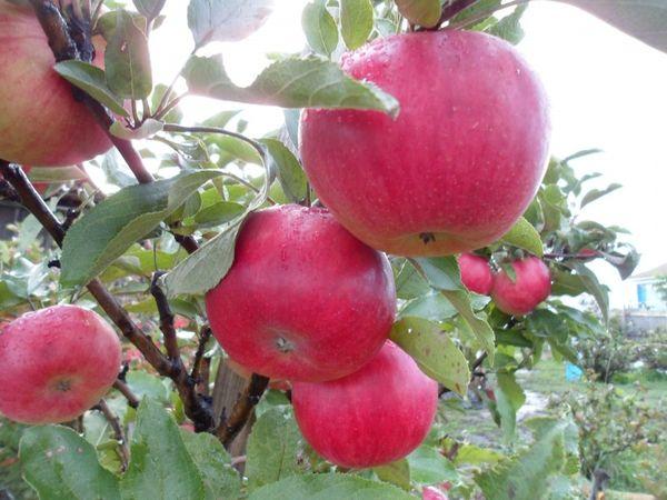 Яблоня Васюган имеет высокую степень урожайности