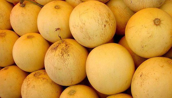 Колхозница вс о выращивании популярного сорта дыни