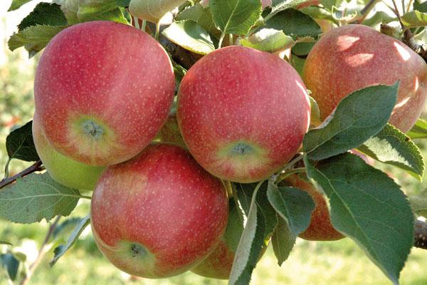 Яблоня Джонаголд всегда дает крупные и красивые плоды