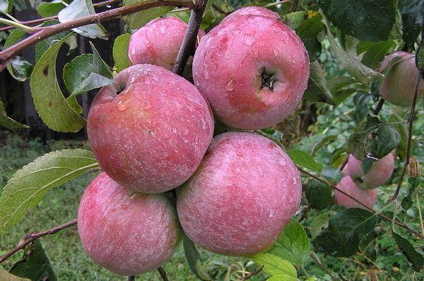 Урожай яблок Уэли собирают в октябре