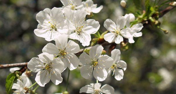 Соцветия вишни Жуковская всегда пятицветочные