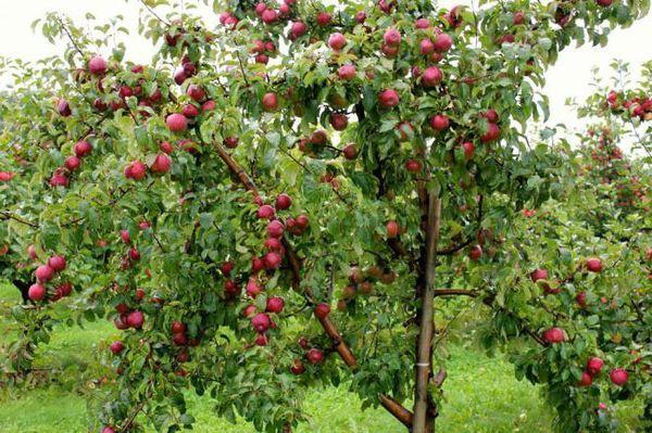 Яблоня плодоносит уже на 5-6 год
