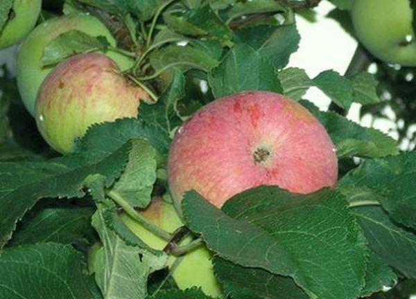 Плоды яблони Спартак небольшого размера (100–150 г )