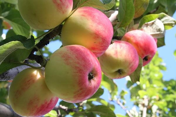 Яблоки Июльское Черненко хранятся не более 10 дней