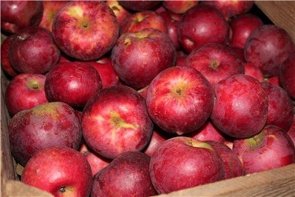 Яблоки хранятся при температуре 0 °C