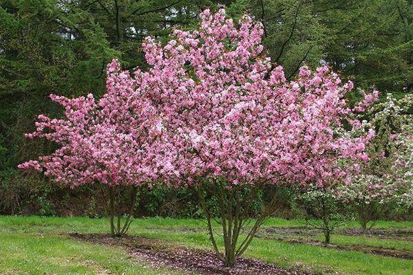 Для соседства с декоративной яблоней подходит груша
