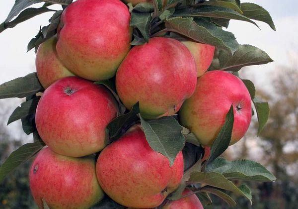 Плодоносит яблоня Триумф на 2-3 год