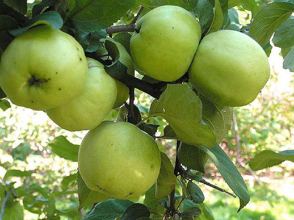 Яблоня Антоновка плодоносит на 7-8 год