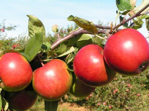 Яблоня Поспех имеет высокую урожайность