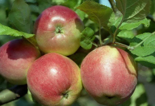 Веньяминовское – яблоня зимнего сорта
