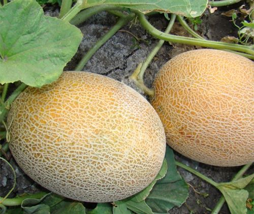 Урожай собирают уже после 50–55 дней роста