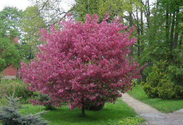Краснолистная яблоня Royalty – гибрид яблони Недзвецкого