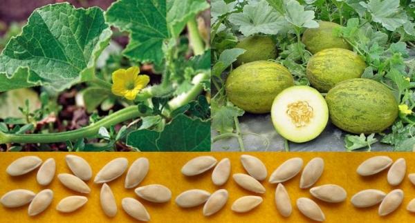 Сеять семена дыни нужно в апреле