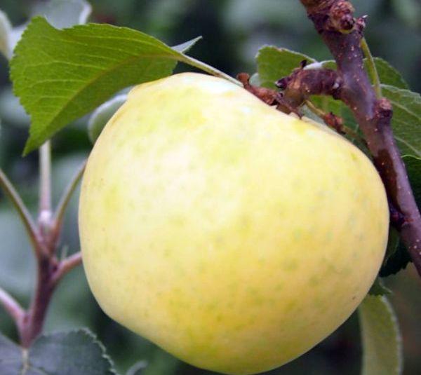 Посадка и уход за колоновидной яблоней Малюха