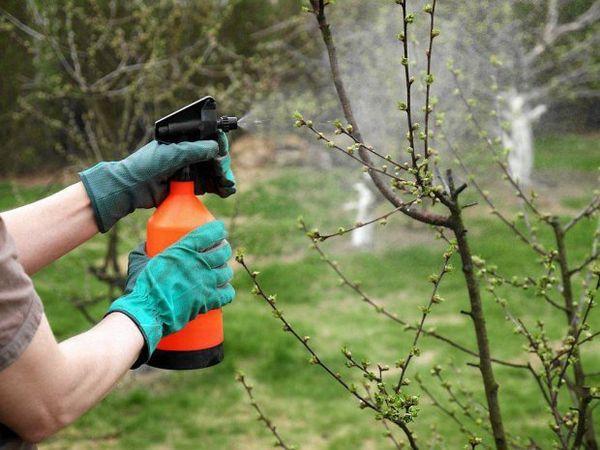 Весной необходимо проводить опрыскивание декоративной яблони