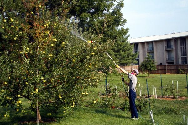 За сезон необходимо провести 5-6 обработок яблонь инсектицидами