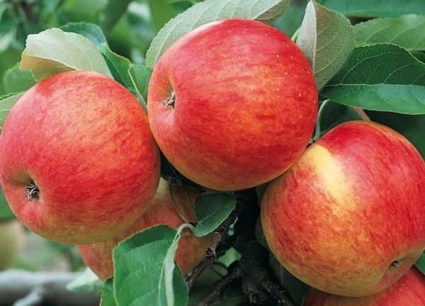 Яблоня Пинова обладает устойчивостью к парше
