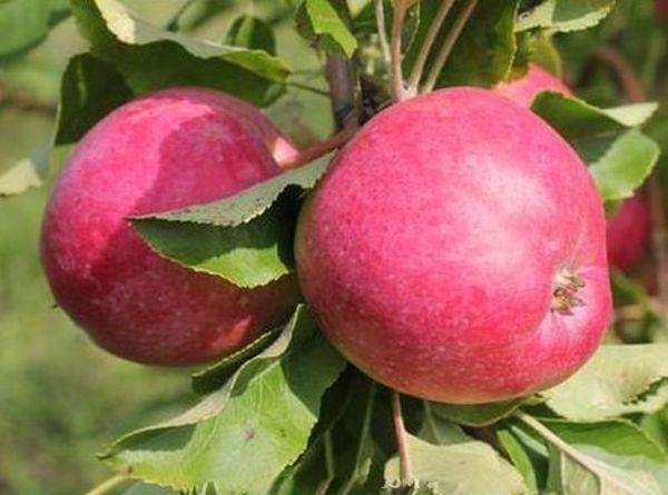 Яблоки сорта Веньяминовское весят порядка 130 грамм