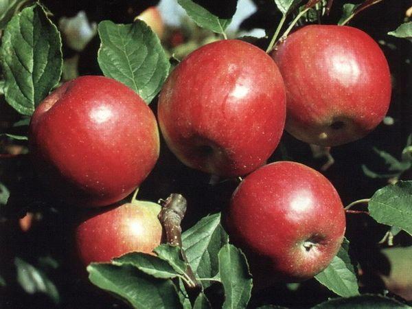 Обзор самых вкусных летних сортов яблони