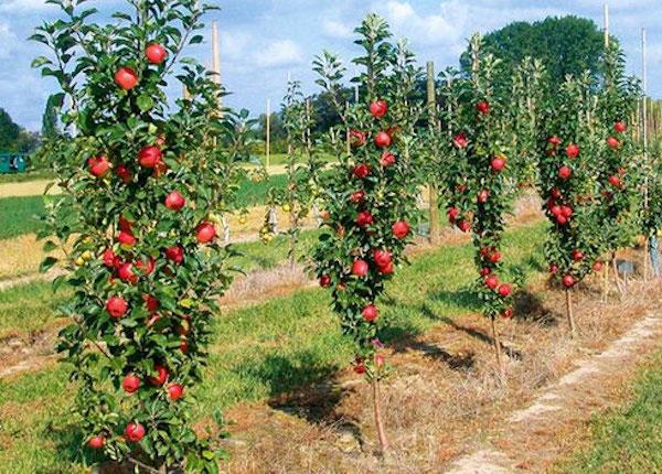 Колоновидные яблони похожи на пирамидальный тополь