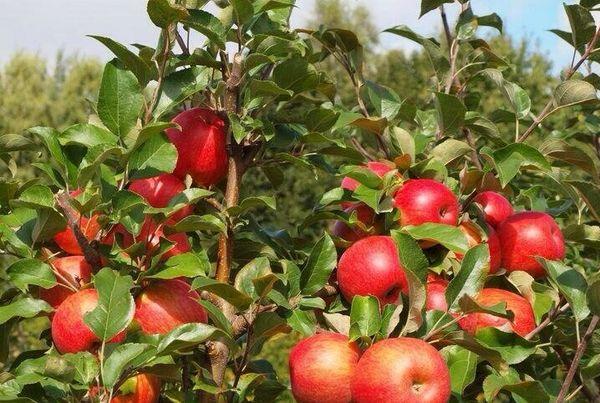 Шестилетняя яблоня дает до 9 кг урожая