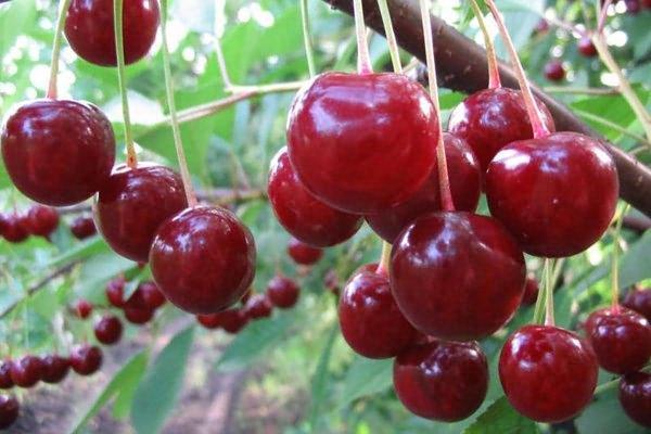 Вишня: размножение, посадка и уход