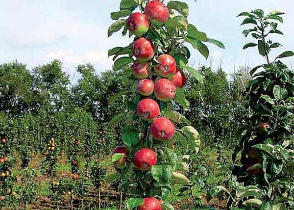 Яблоня Триумф плохо переносит морозы