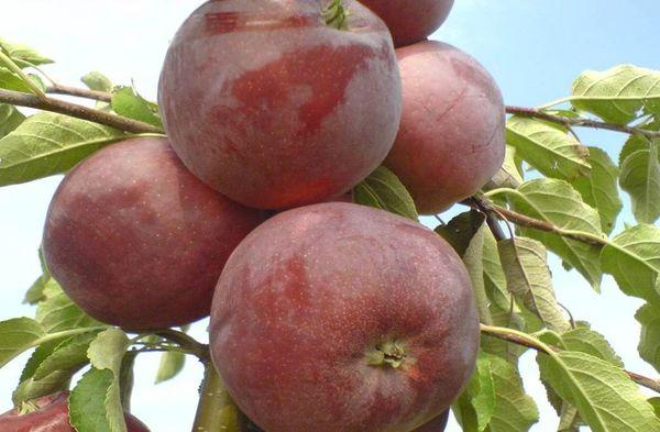 Яблоки Вильямс Прайд хранятся около 1,5 месяца