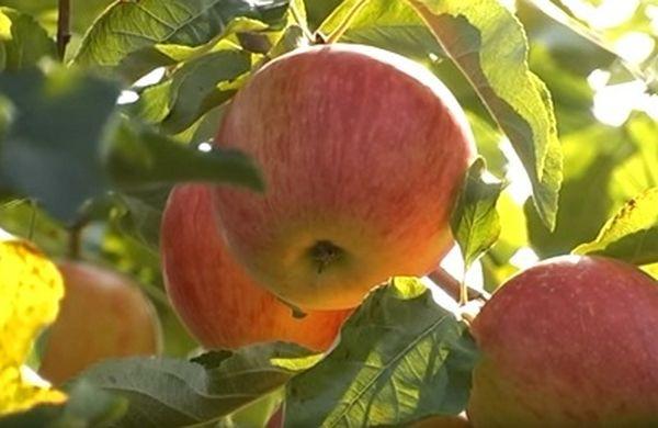 Яблоня Орлинка имеет устойчивость к парше
