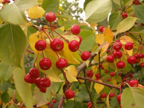 Средняя высота яблони Ягодная достигает 5 метров