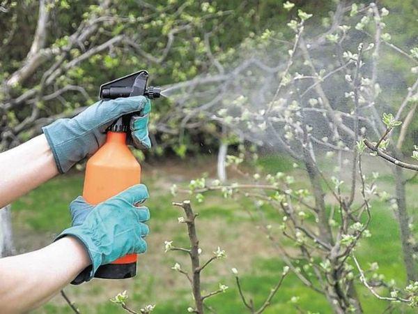 Зараженную паршой яблоню нужно опрыскивать постоянно