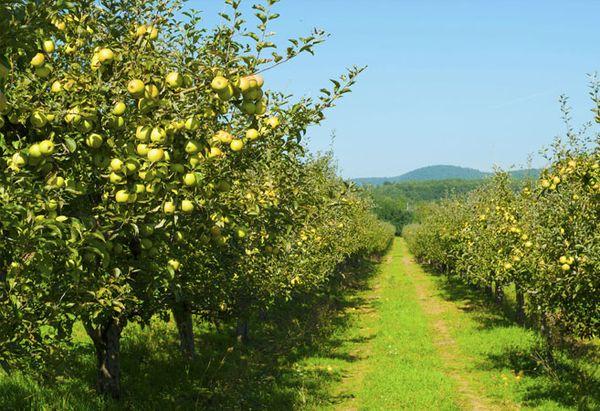 Специалисты советуют высаживать яблони разных сезонов плодоношения