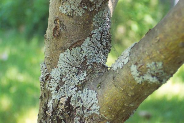 Лишайники представляют собой разные наросты на дереве
