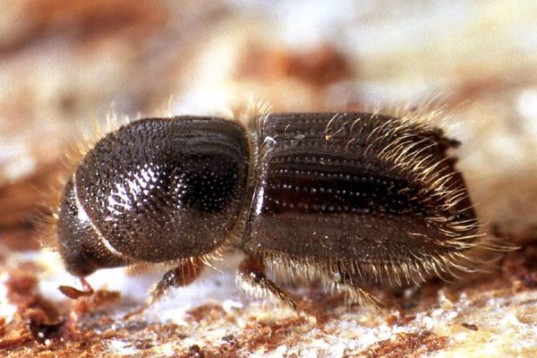 Короед - небольшое насекомое, всего до 4 мм длиной