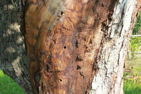Дерево с отслоившейся корой необходимо уничтожить