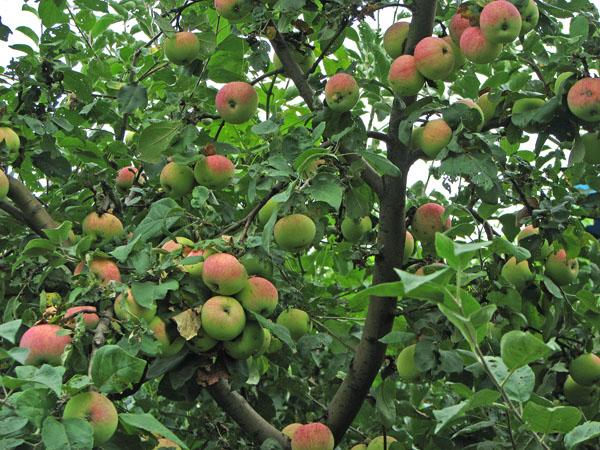 Взрослая яблоня приносит до 50 кг плодов