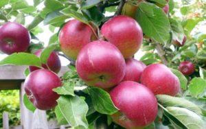 Летние сорта яблонь способны удовлетворить любой вкус