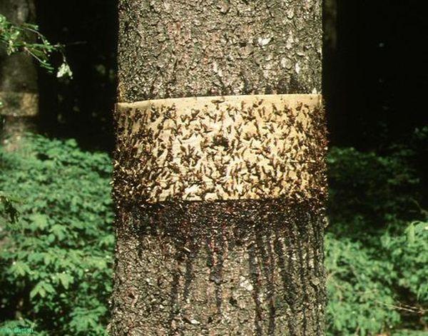 Клейкий пояс применяют одновременно с другими ловушками
