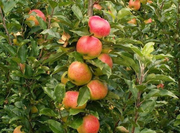 Уже в 5 лет яблони Останкино дают полноценный урожай