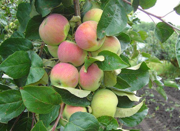 Сорт яблони юбиляр